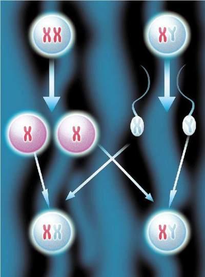 Kenali Sifat Kromosom X dan Kromosom Y