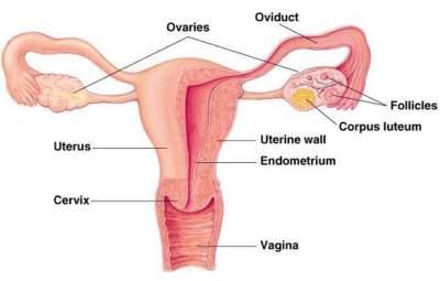 Pengertian Mendasar Menstruasi dan Awal Kehamilan