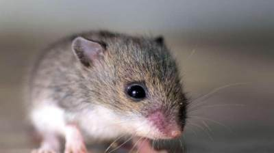Mudah dan Murah! Ini Cara Mengusir Tikus Rumah dengan Buah Bintaro