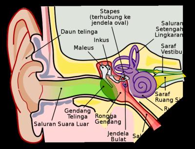 Bagian-bagian Telinga Tengah dan Fungsinya