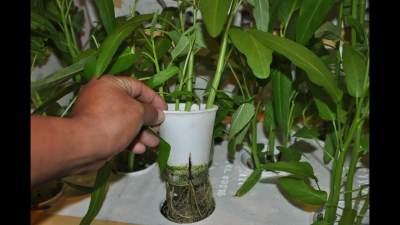 Tanaman hidroponik kangkung