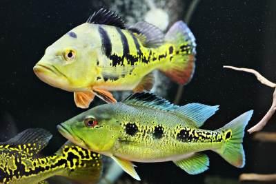 Pesona Ikan Hias Predator Air Tawar Jadi Incaran Para Kolektor, Cari Tahu Jenisnya Yuk!