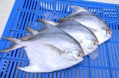 Ikan bawal putih laut