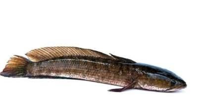 Mengenal Aneka Manfaat Ikan Gabus untuk Kecantikan
