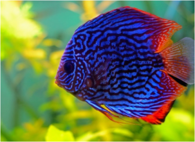 Kenalan Yuk Moms Sama Ikan Discus, Rajanya Aquarium Air Tawar