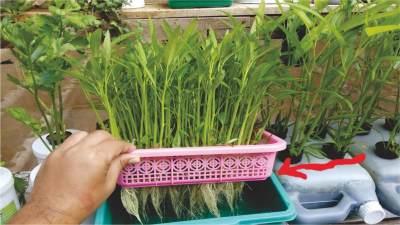 Menanam Sayur Sendiri di Rumah, Hidroponik Kangkung Bisa Jadi Pilihan Nih Moms!