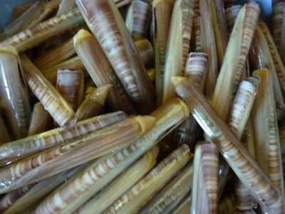 Kerang Bambu