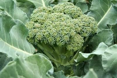 Seputar Brokoli Hijau