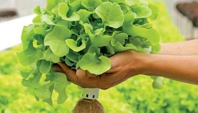 Nasi Basi Jangan Dibuang! Tanam Sayur di Rumah, Yuk Bikin Nutrisi Hidroponik Sendiri Moms