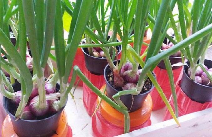 Budidaya Bawang Merah Dengan Polybag Dan Hidroponik Tanam Sendiri Di Rumah Yuk