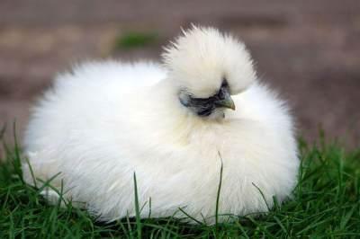 Punya Harga Fantastis, Ini Tips Budidaya Ayam Kapas untuk Pemula
