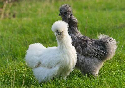 Jenis-Jenis Ayam Kapas