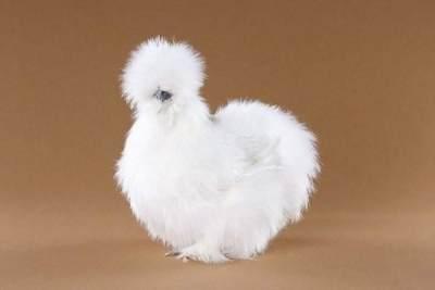 Tips Budidaya Ayam Kapas untuk Pemula