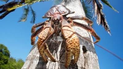 Ketam Kenari, Kepiting Langka Berukuran Raksasa yang Terancam Punah