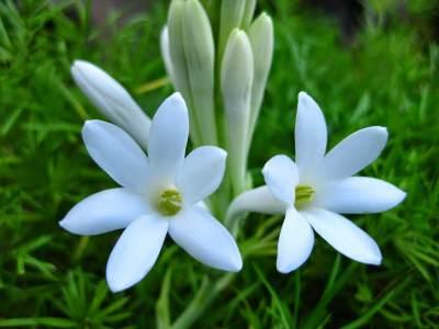 Pesona Bunga Sedap Malam, Mengenal Ragam Jenis Hingga Mitos yang Beredar