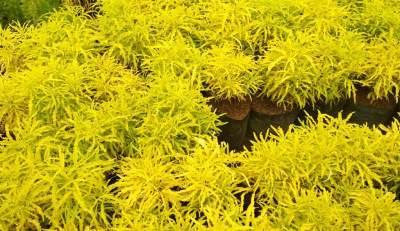 Kenalan Sama Brokoli Kuning, Ketahui Juga Budidaya dan Cara Merawatnya Moms
