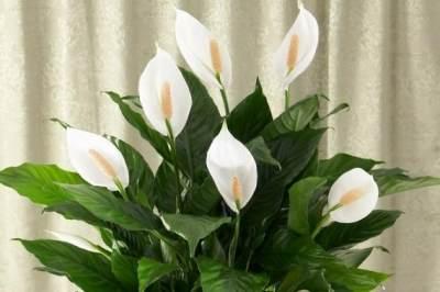 Selendang Putih (Peace Lily)