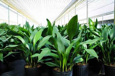 Tanaman Besi Cor (Cast Iron Plant)