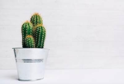 4. Kaktus