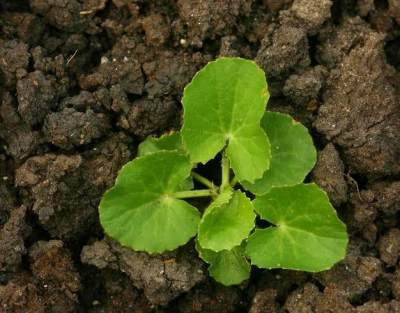 Manfaat Daun Pegagan (Centella Asiatica) untuk Kesehatan dan Kecantikan Kulit