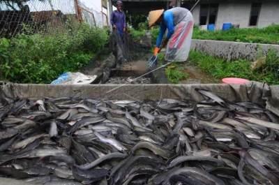 Habitat Hidup Ikan Lele