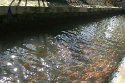 Inspiratif! Saluran Irigasi Penuh Sampah Disulap Jadi Kolam Ikan ala Jepang di Banyuwangi