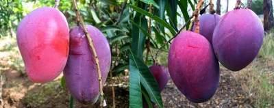 Punya Warna Ungu yang Cantik, Ini 5 Fakta Menarik Buah Mangga Irwin