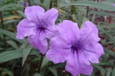 Manfaat Bunga Ruellia Simplex