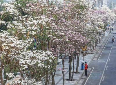 Cantik Bagai di Jepang, Indahnya Bunga Tabebuya Bermekaran di Surabaya
