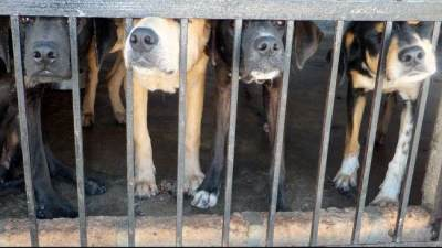 Ciri Infeksi Pada Gigitan Anjing