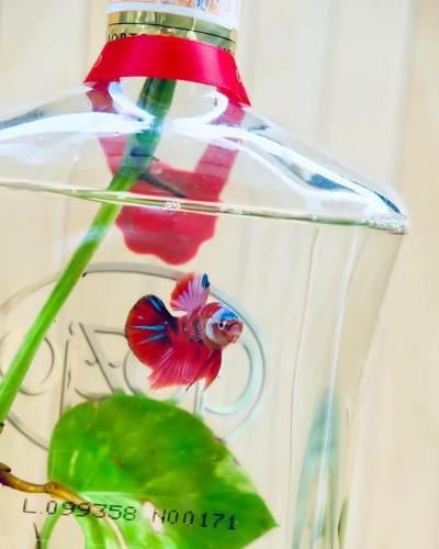 Mengenal Jenis Ikan Cupang Peliharaan Nadine Chandrawinata yang Cantik dan Tahan Banting