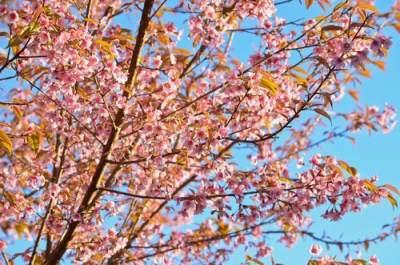 1. Pohon Tabebuya punya banyak sebutan nama
