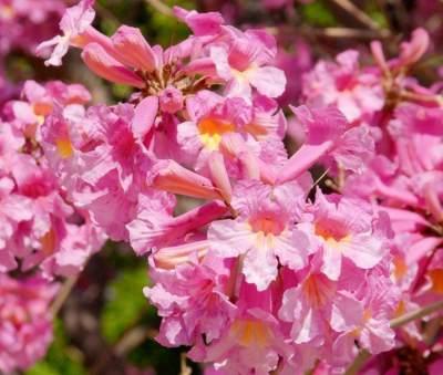 5 Fakta Menarik Pohon Tabebuya, Si Bunga Sakuranya Kota Surabaya