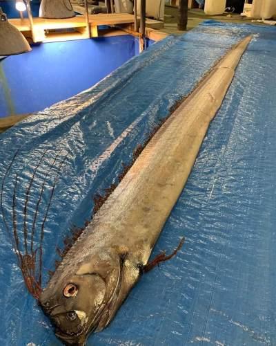 Muncul di Selayar, Ini 5 Fakta Ikan Oarfish yang Katanya Jadi Pertanda Gempa Besar