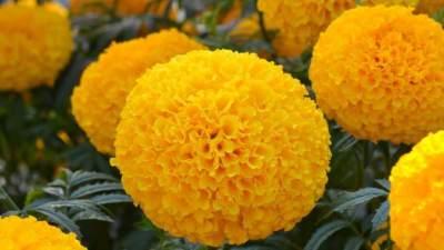 1. Marigold