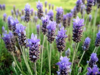 5. Lavender