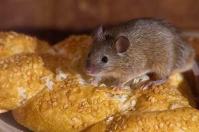 Waspada Leptospirosis Pasca Banjir, Penyakit yang Berasal dari Air Kencing Tikus