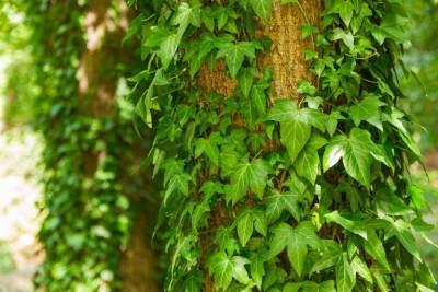 5. Ivy