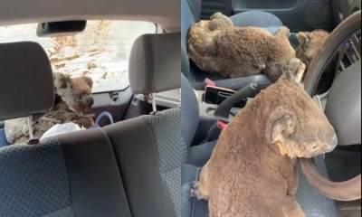 Selamatkan Koala dari Kebakaran Hutan, Remaja Ini Penuhi Mobilnya dengan Koala
