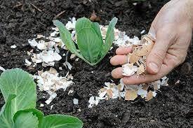 Cangkang telur untuk pupuk kompos