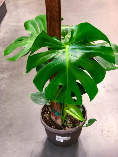 2. Monstera Borsigiana