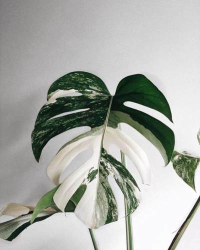 5. Monstera Variegata